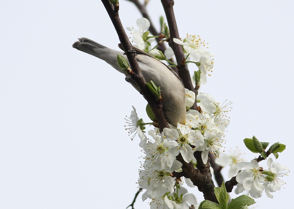 Ptaki_nektar_18