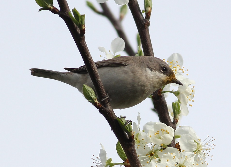 Ptaki_nektar_19