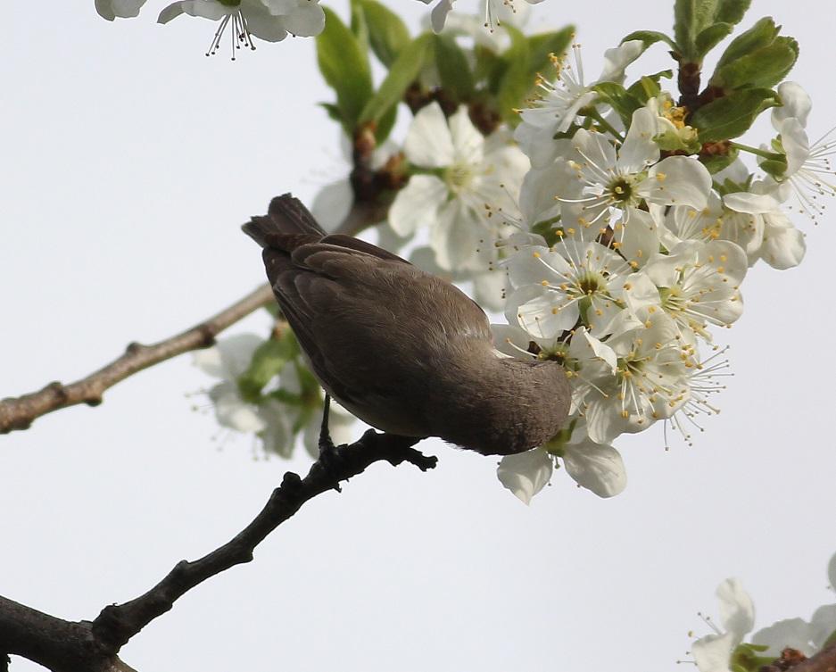 Ptaki_nektar_24