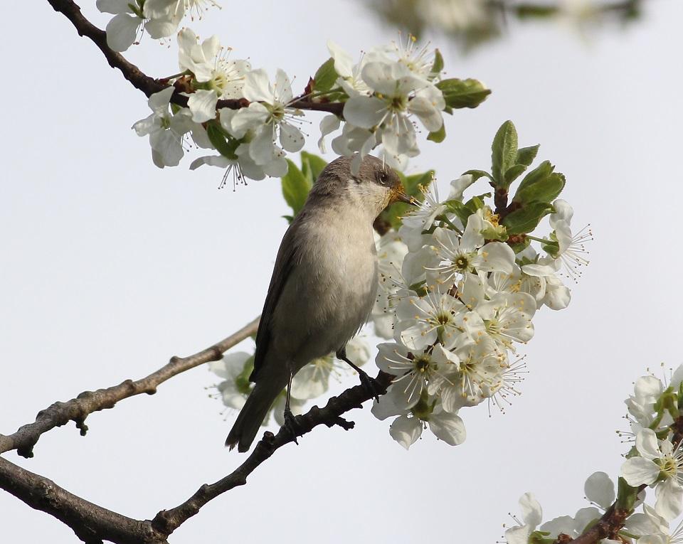 Ptaki_nektar_25
