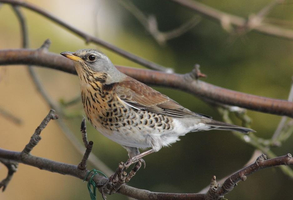 Ptaki_kwiczol_05