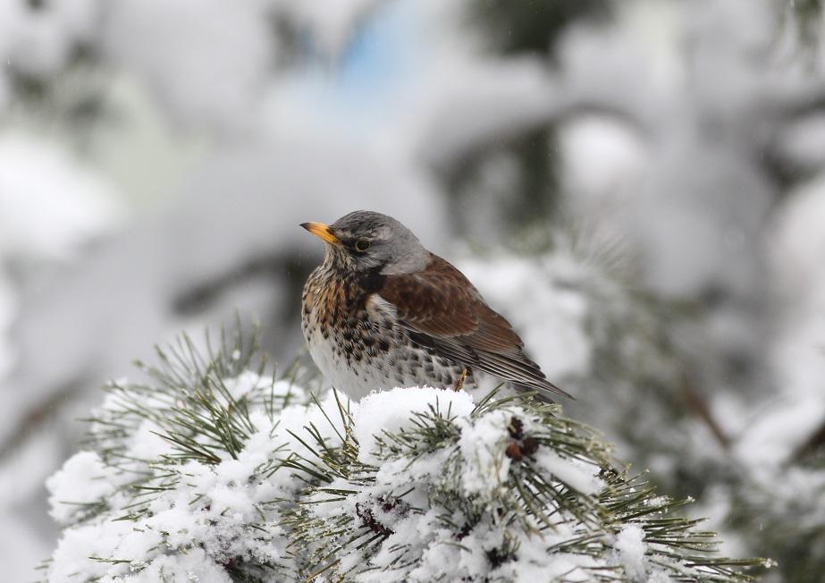 Ptaki_kwiczol_06