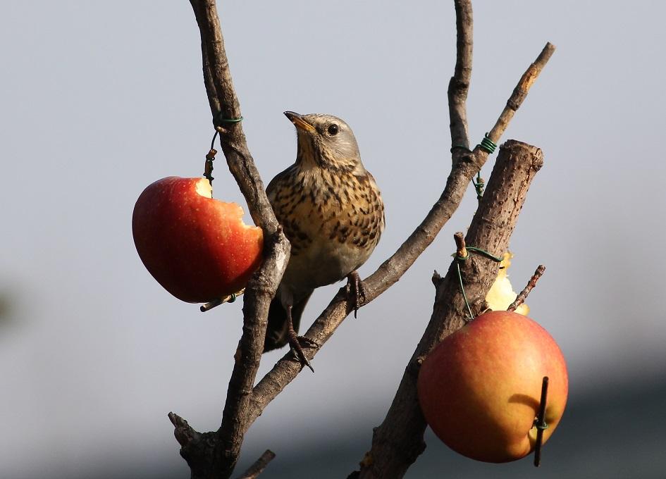 Ptaki_kwiczol_09