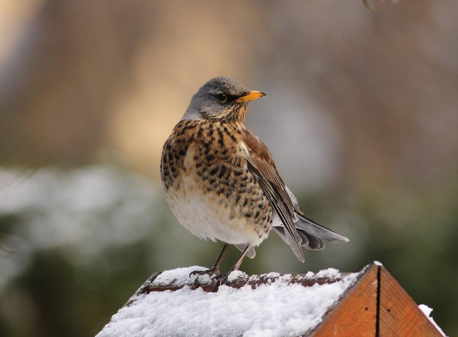 Ptaki_kwiczol_10