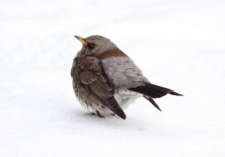 Ptaki_kwiczol_18