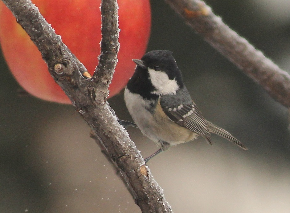 ptaki sosnówka