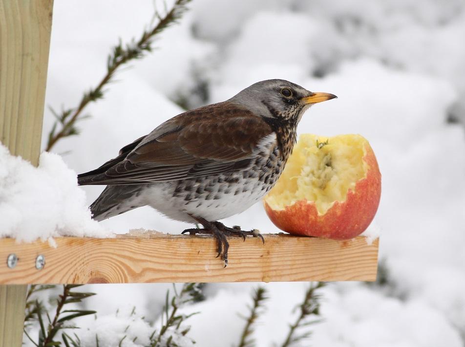 amatorzy jabłek