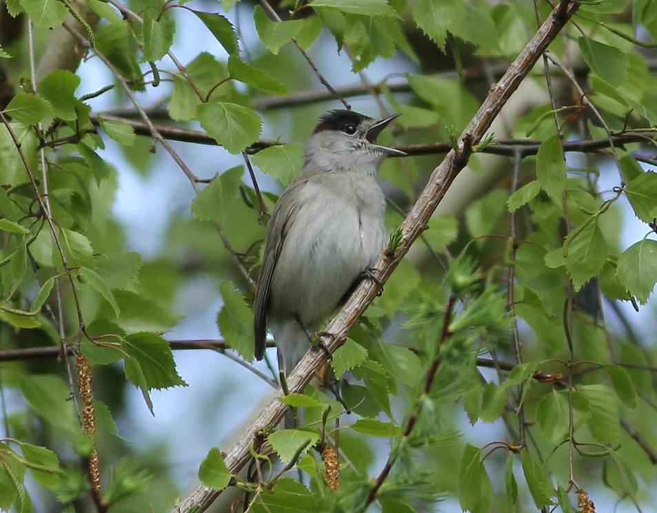 kapturka śpiewający samiec