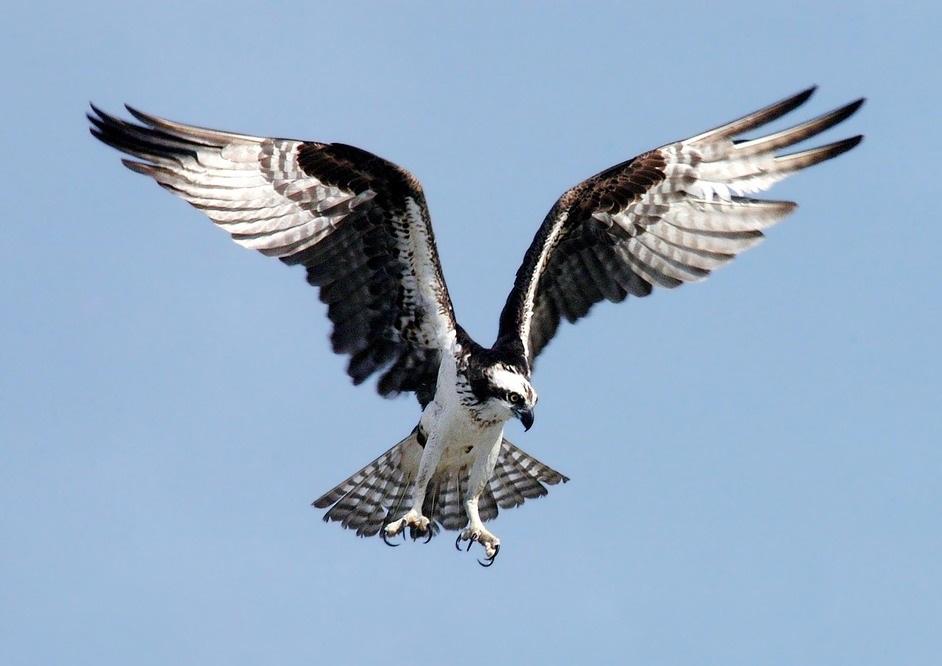 Ptaki Drapieżne Czyli Szponiaste
