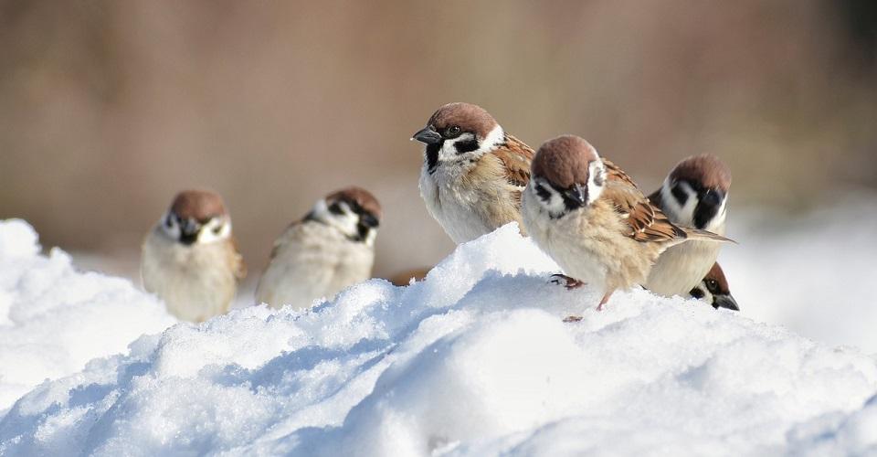 ptaki mazurki