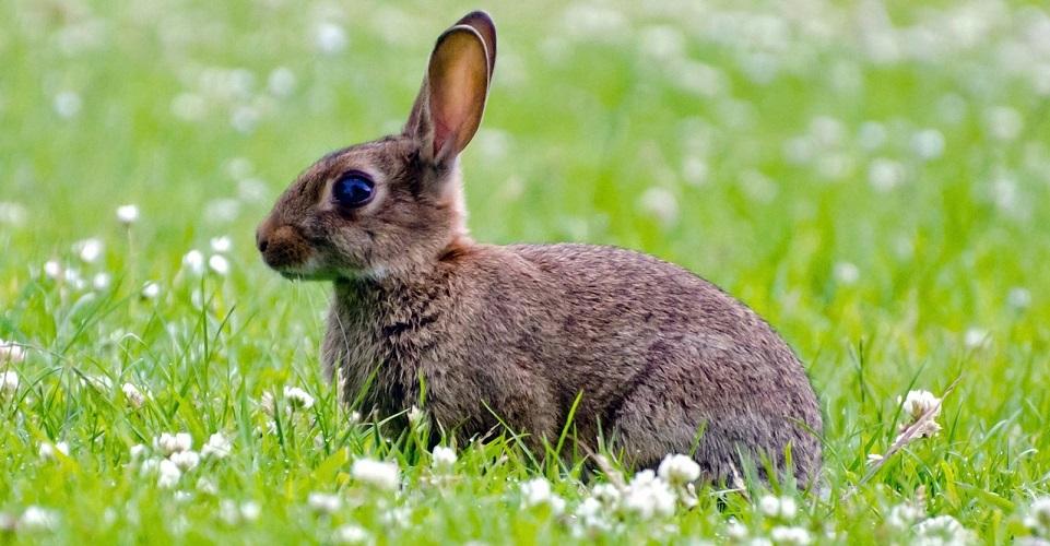 gonienie króliczka