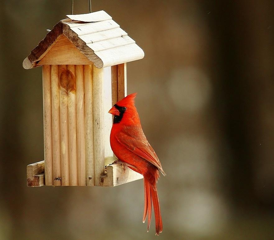 kardynał szkarłatny