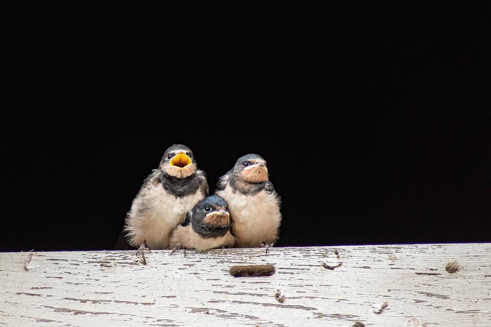 młode ptaki